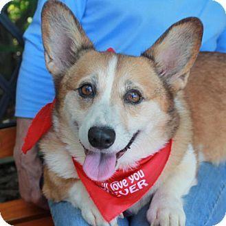 Garfield Heights, OH - Pembroke Welsh Corgi. Meet Shasta, a dog for adoption. http://www.adoptapet.com/pet/13507923-garfield-heights-ohio-pembroke-welsh-corgi