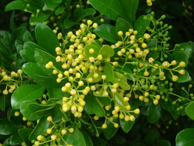 Chinese perfume plant (aglaia odorata) is a repeat flowering