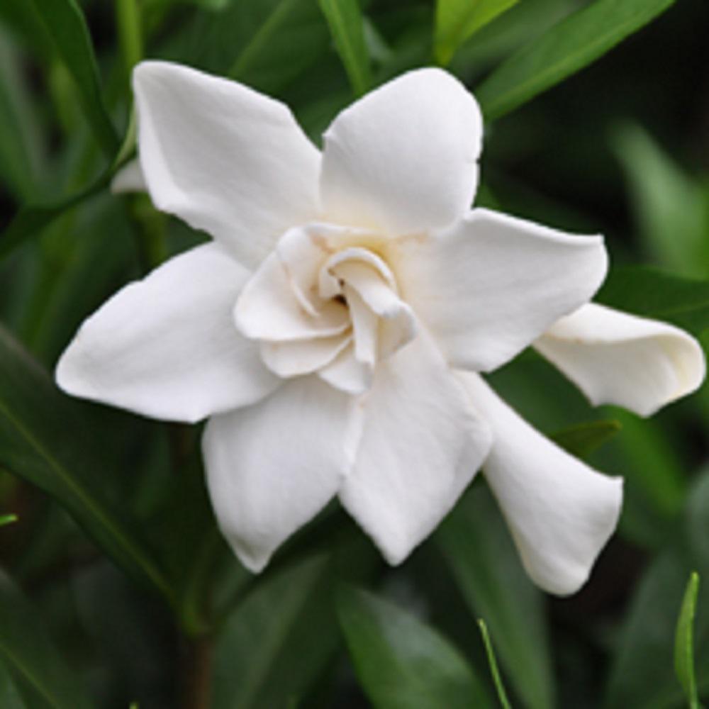 Flowerwood Nursery 2 5 Qt Frost Proof Gardenia Live Evergreen