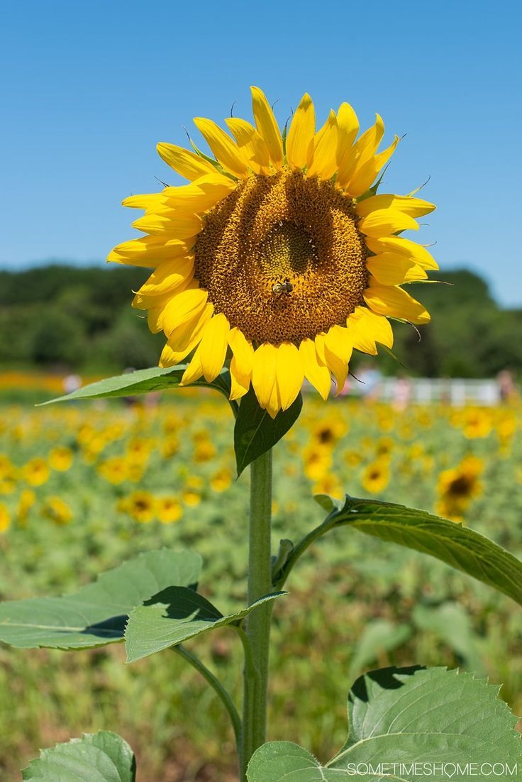 Raleigh Sunflowers Field in North Carolina All You Need