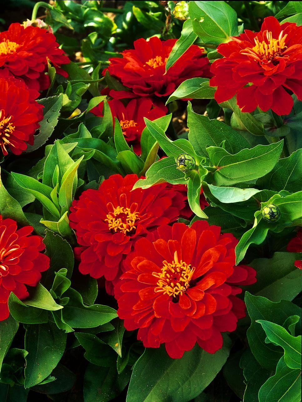 Deer Resistant Plants Flowers Pinterest Plants Deer Resistant