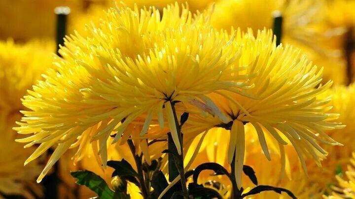 Amarelo como o sol