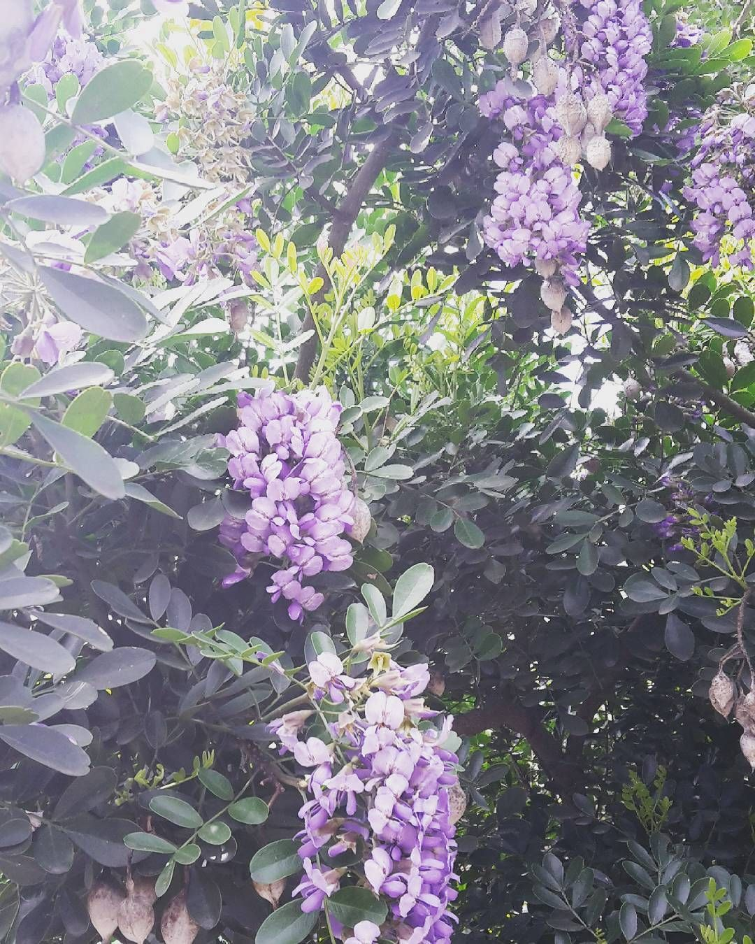 #lilacs by sidways1981