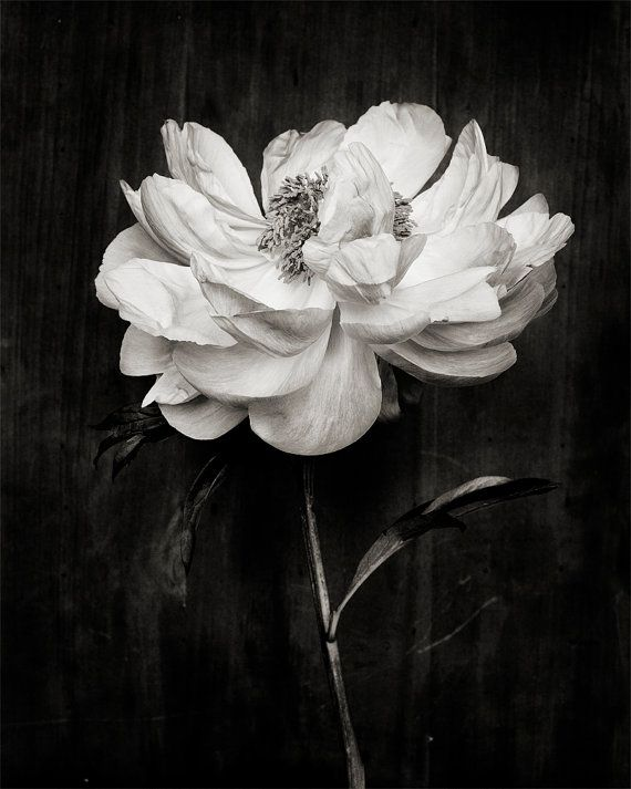 black and white_no_4 by kariherer on Etsy Peony print