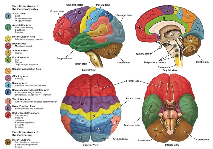 human brain anatomy - google search | mum's secrets | pinterest, Human Body