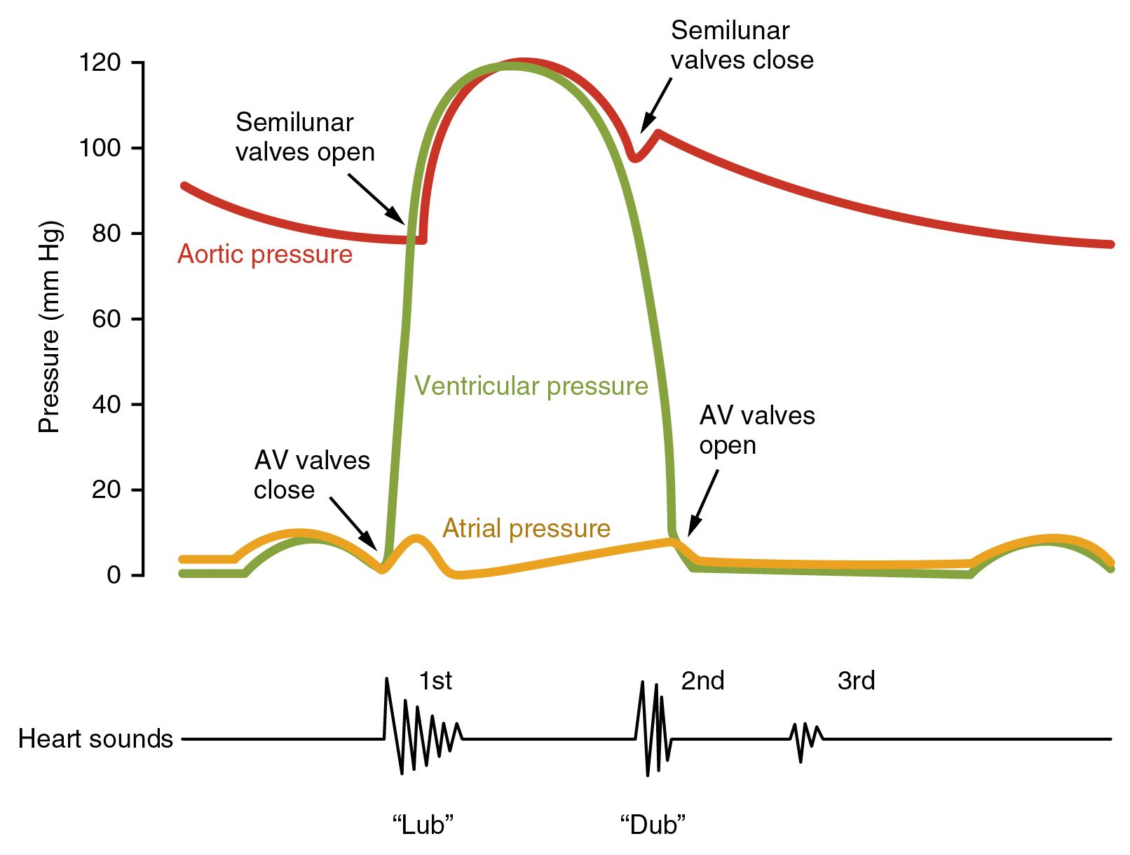 this image shows a graph of the blood pressure with the different stages labeled under the graph a line shows the different sounds made by the beating  [ 1612 x 1219 Pixel ]
