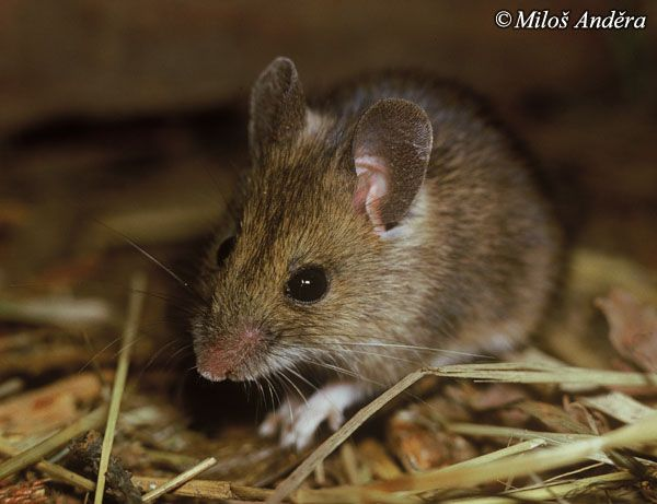 Apodemus Sylvaticus Long Tailed Field Mouse Cute Wild Animals