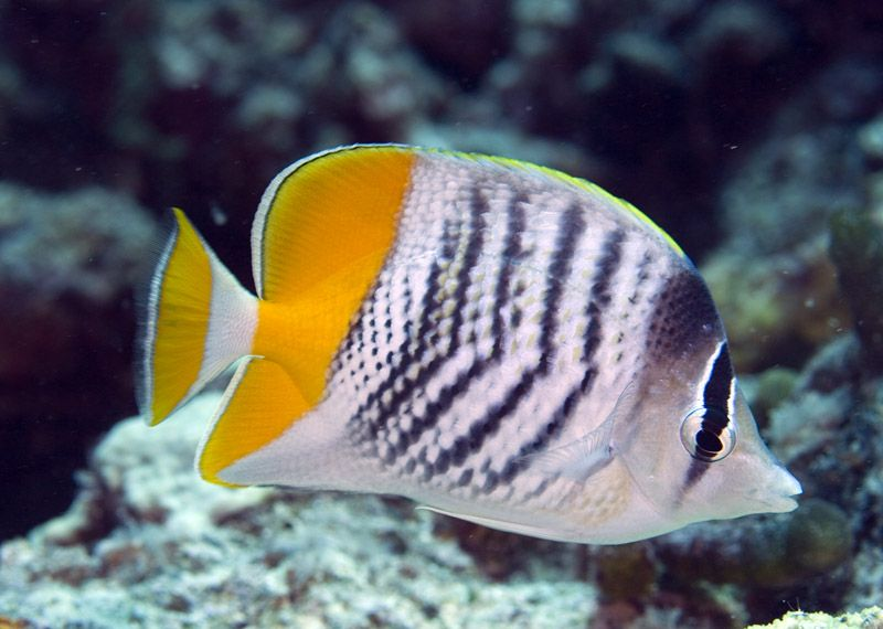 Photos Of Butterflyfishes Chaetodontidae Marine Fish Saltwater Fish Tanks Beautiful Fish