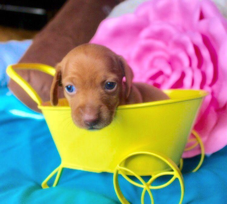 Red Shorthair Miniature Dachshund Dachshund Puppies Dachshund