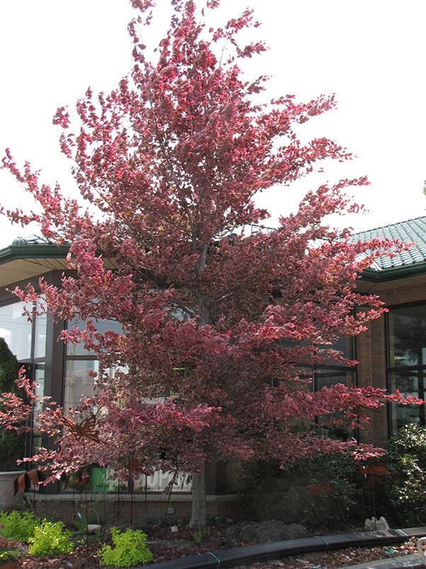 What Color Is Beech Wood ~ Buy tri color beech tree tricolor fagus sylvatica