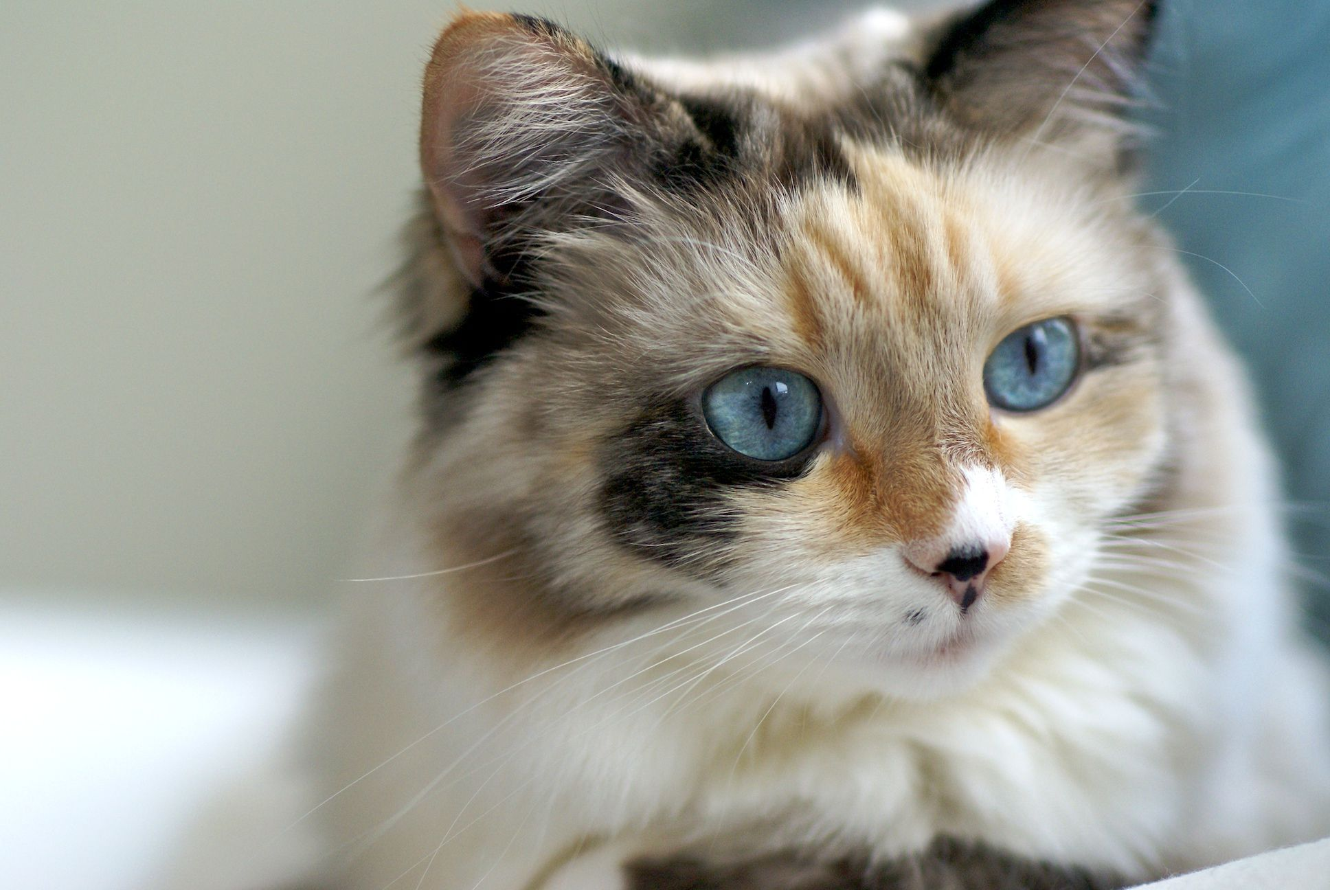 Ragdoll Snowshoe Mix Pretty Cats Ragdoll Cat Cats