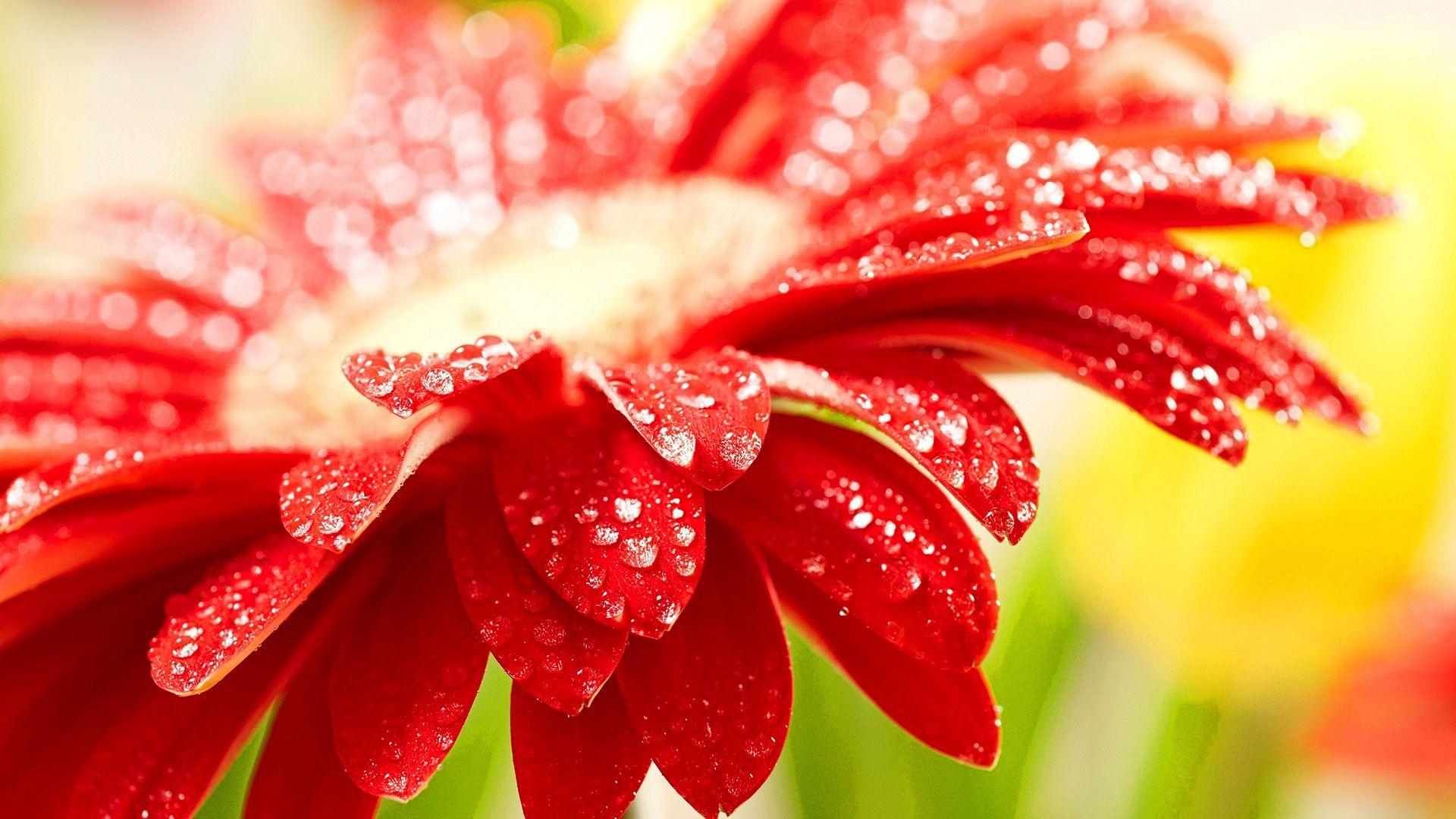 fresh-red-flower-wallpaper (1920×1080) | flowers of all