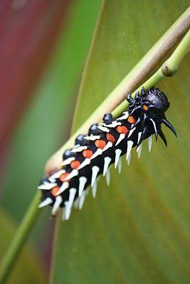 Caterpillar Kenya Raupe