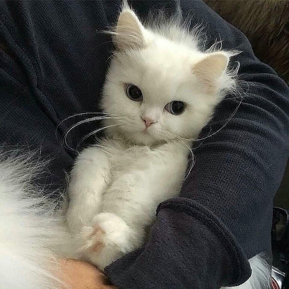 Cats Of Instagram On Instagram White Kitty With Blue Eyes Notification On Submit Video Or Phot Baby Animals Cute Baby Animals Happy Cat