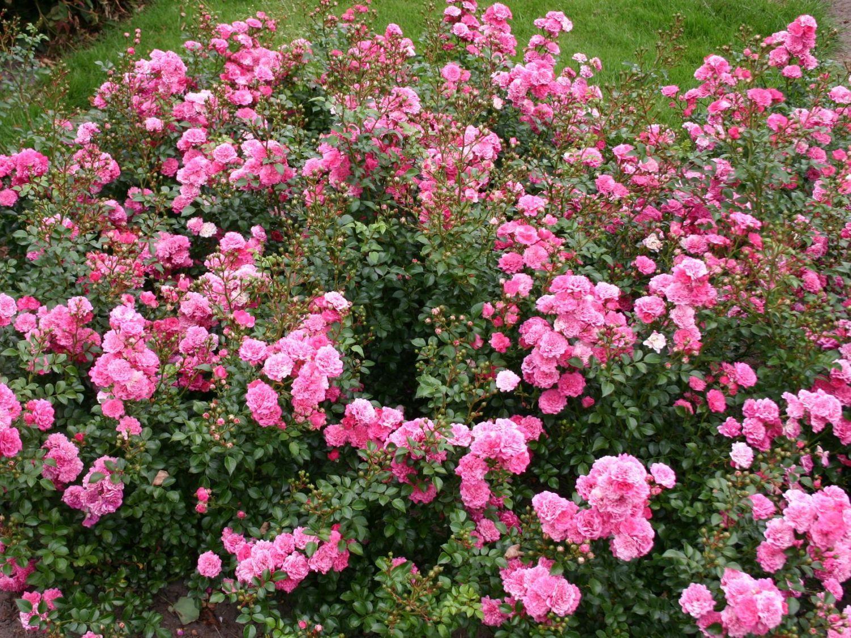 Zwergrose Bodendeckerrose Pepita Rosa Pepita ADR Rose