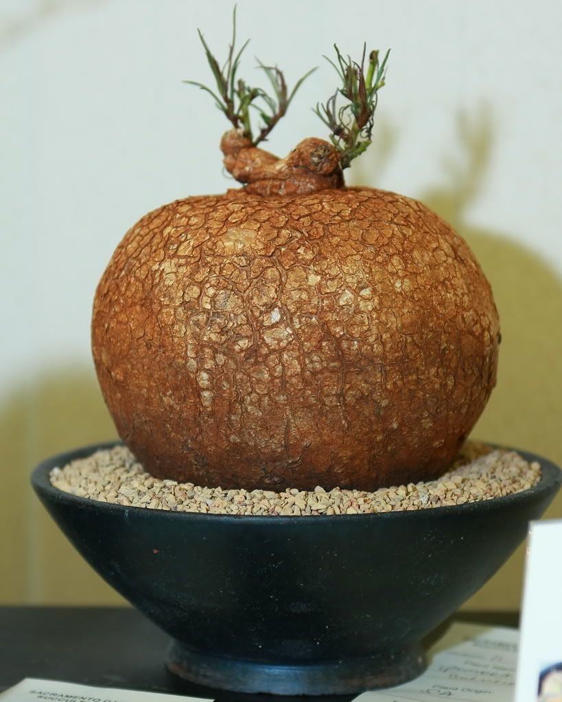 1000 Images About Bonsai On Pinterest Buy Bonsai Tree Mini