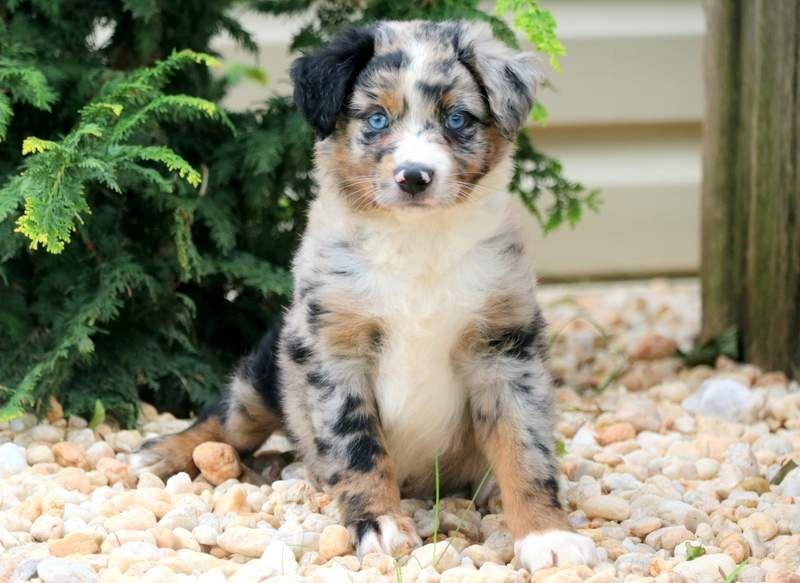Moe Australian Shepherd Mini Puppy For Sale Keystone Puppies Australian Shepherd Puppies Australian Puppies Mini Australian Shepherds