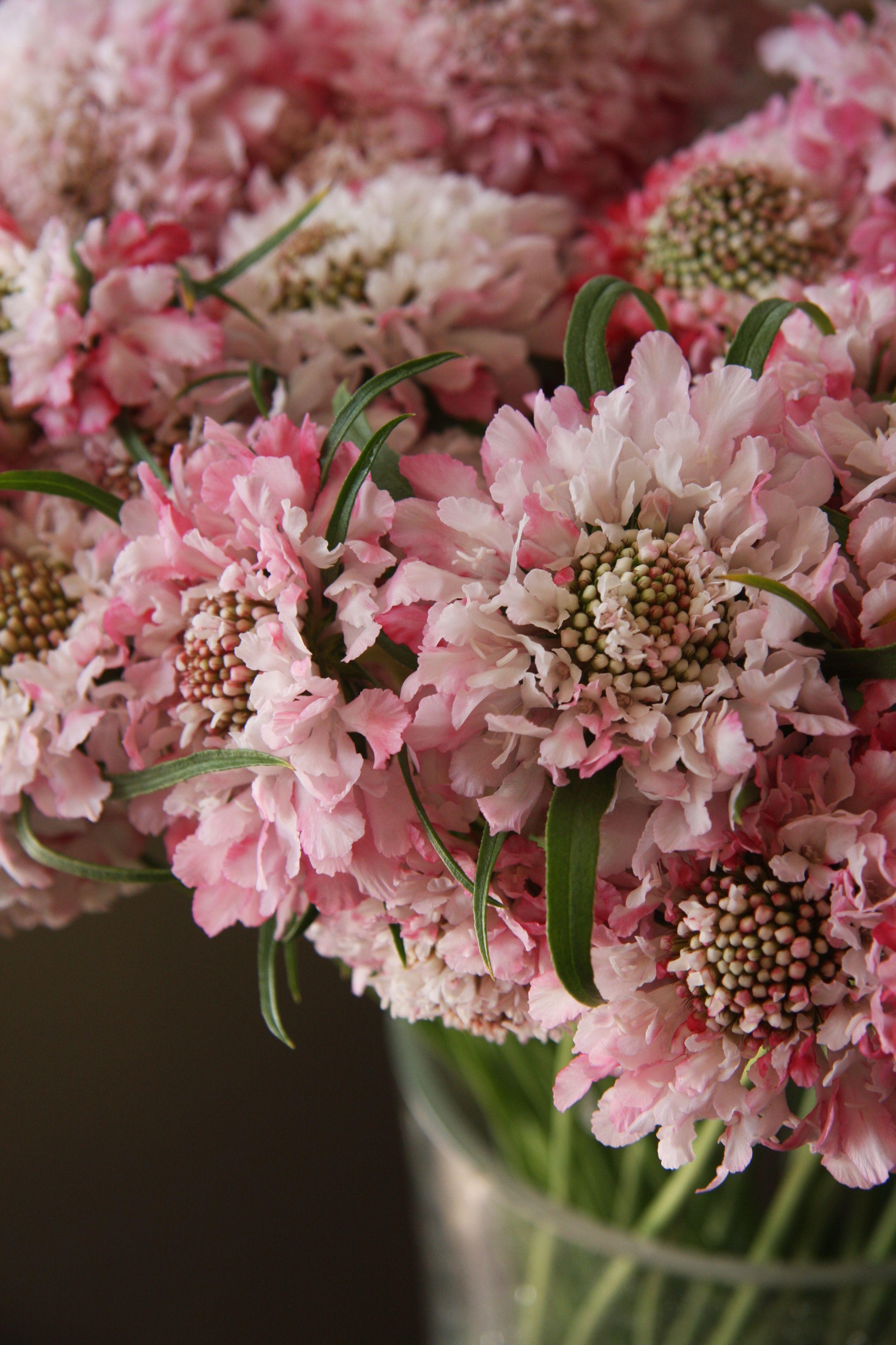 Scabiosa Pretty Lady Flowers Flowers Pinterest Flowers Cut