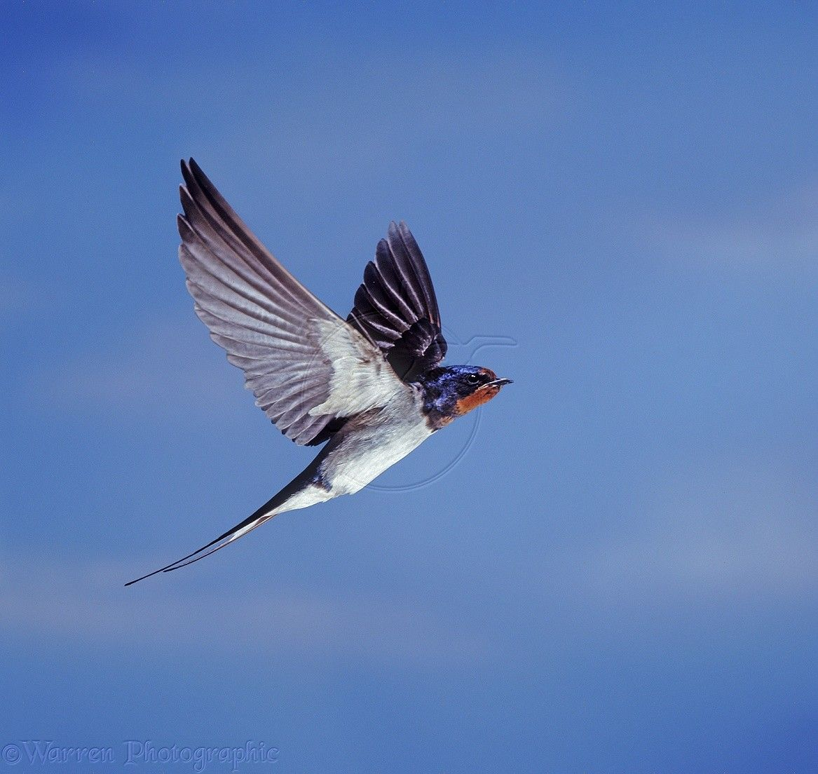 Barn Swallow In-Flight | Swallow in flight | Barn swallow ...