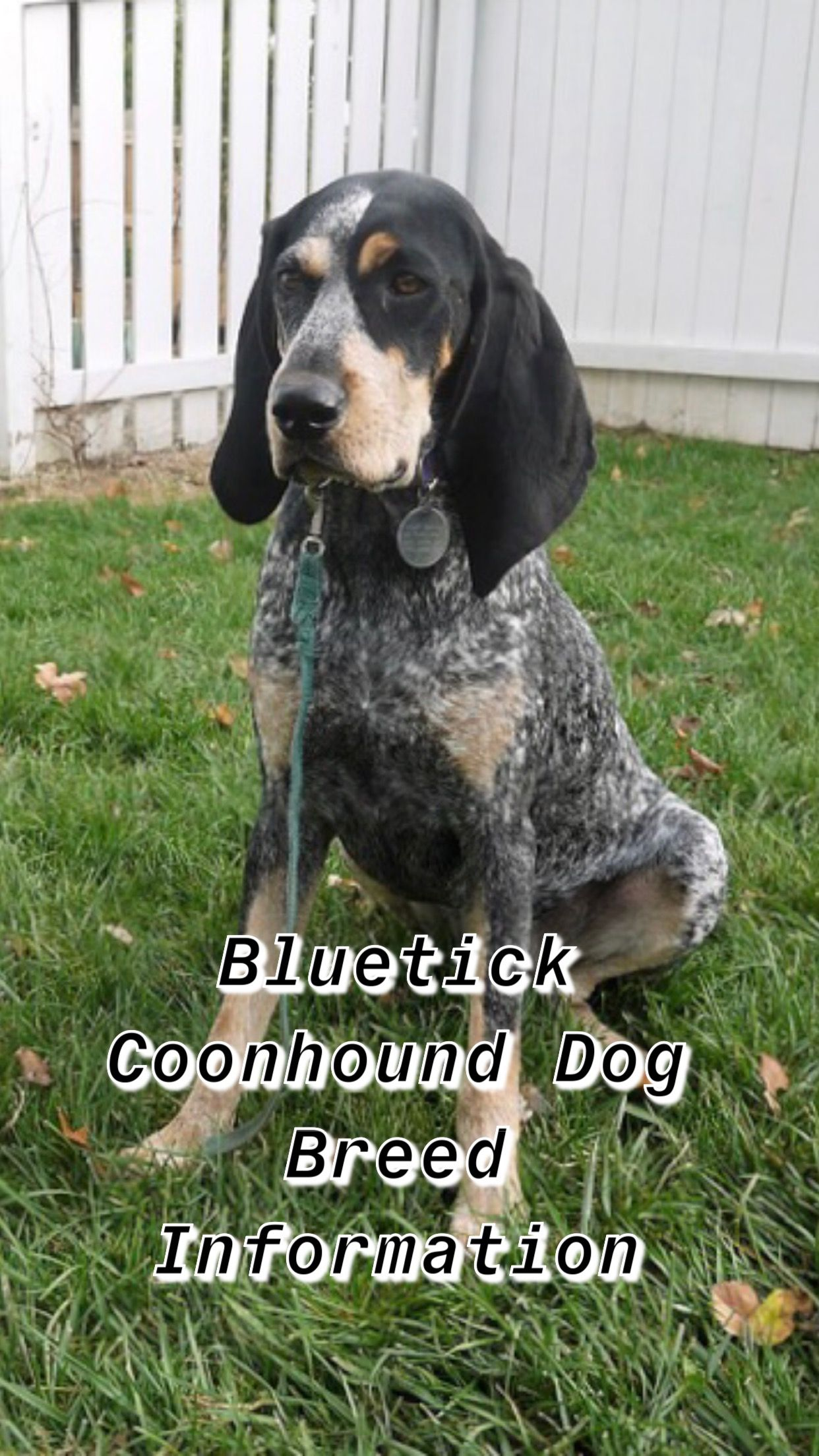 Ultimate Bluetick Coonhound Breed Information Bluetick Coonhound