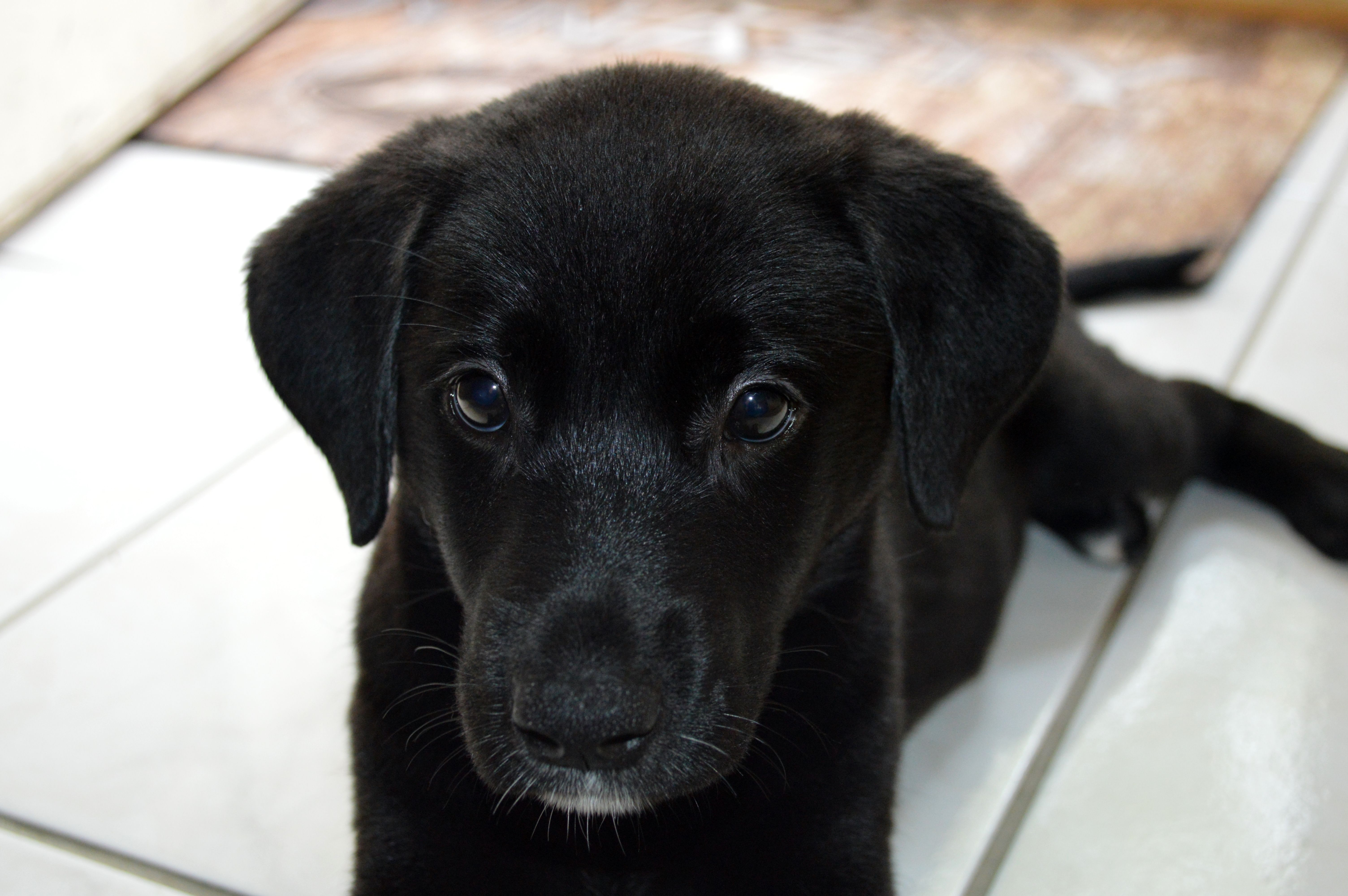 This Is My 11 Week Old German Shepherd Lab Mix Puppy Brandy Isn T She Adorable Lab Mix Puppies Puppies German Shepherd Lab Mix