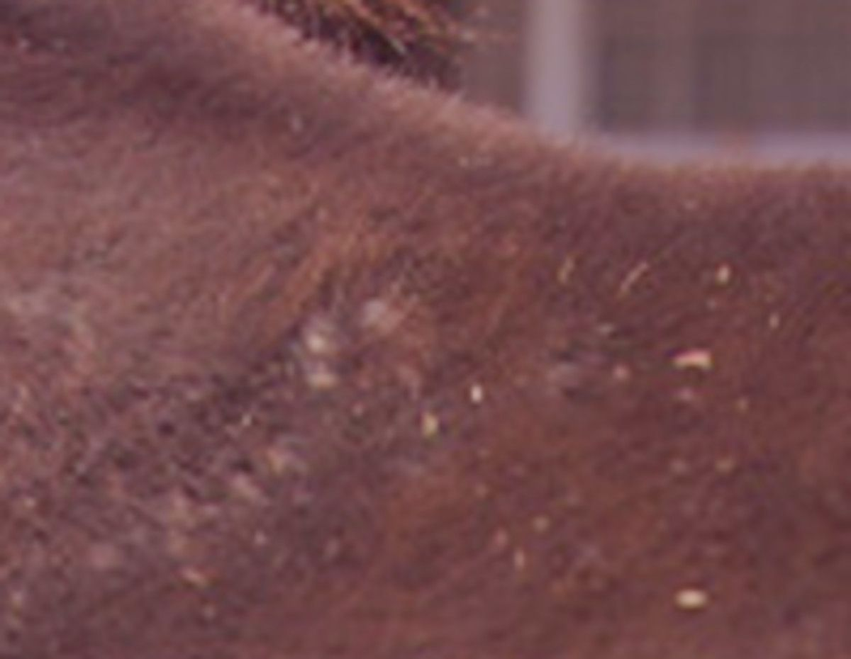 All About Rain Rot On Horses Rain Rot Skin Conditions Horse Health