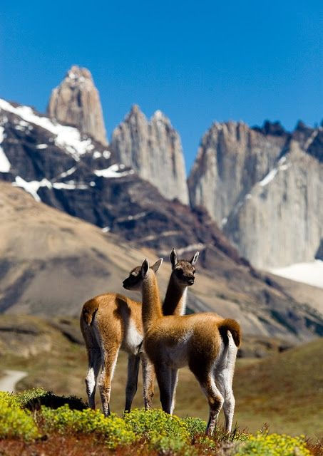 Pretty Little Guanacos In Torres Del Paine Chile Fauna