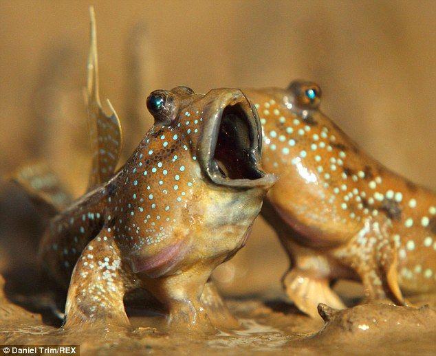 LIFE - Mudskipper Mud Wrestles   Fish - YouTube