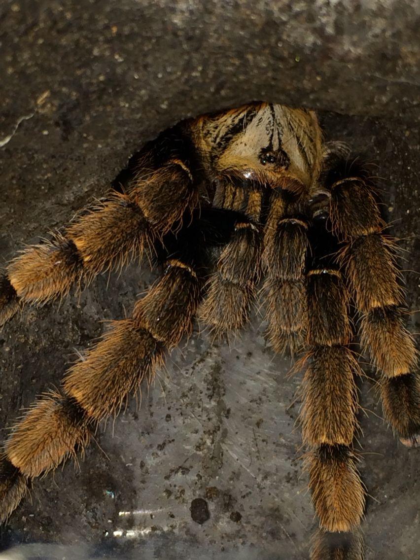 Ornithoctoninae sp HoChiMinh 0.1 | Asian Tarantulas | Pinterest