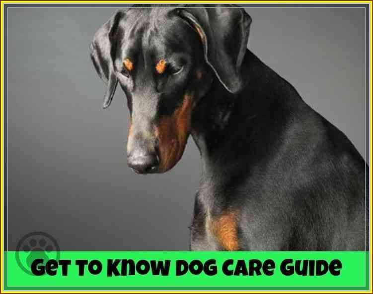 Follow This Great Dog Care Guide To Help You Doberman Dogs Dogs