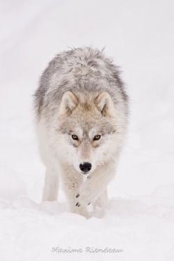 17 Amazing Shots of Wolves in the Wild | Loup sauvage