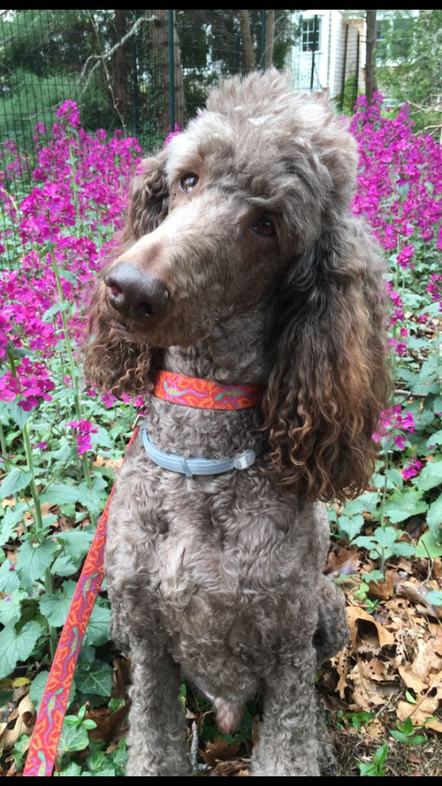 Standard Poodle Shane In The Money Plants Cape Cod Ma With