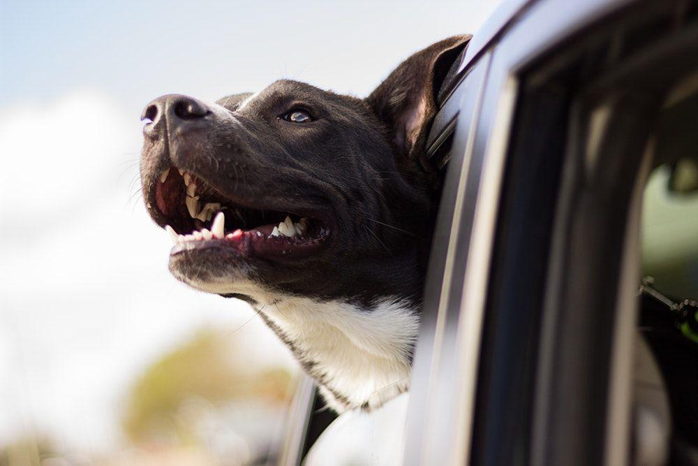 Dogs Cute Pets Animal Friends Play Car Sick Dog Sick Dog Dog