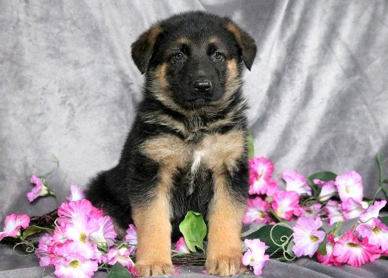 German Shepherd Dog Puppy For Sale In Mount Joy Pa Adn 71696 On