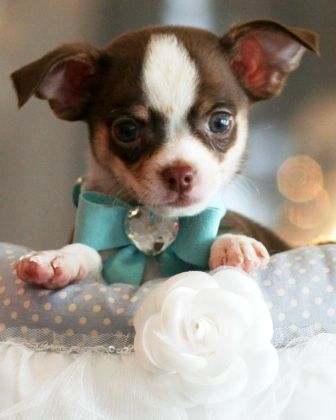 Well Hello There Chihuahua Teacup Chihuahua Puppies