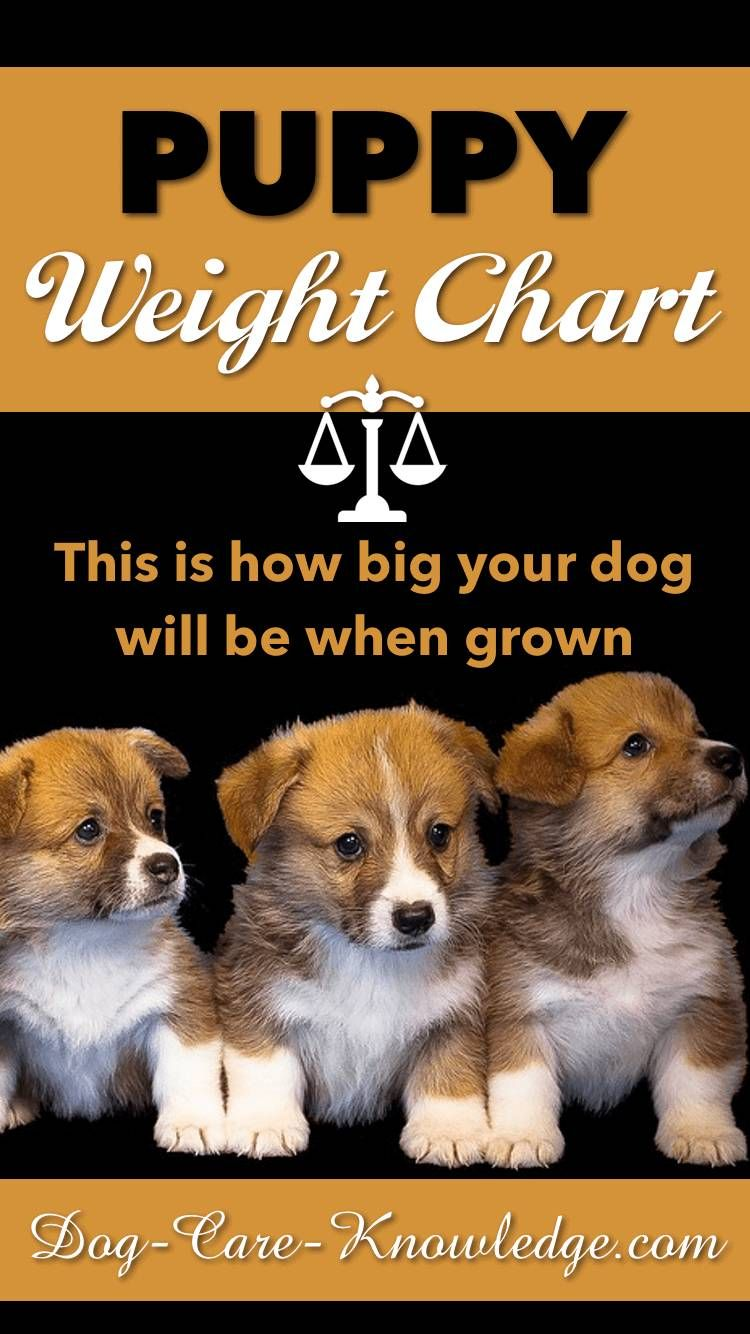 Puppy Weight Chart This Is How Big Your Dog Will Be Dog Weight Chart Puppy Growth Chart Havanese Puppies