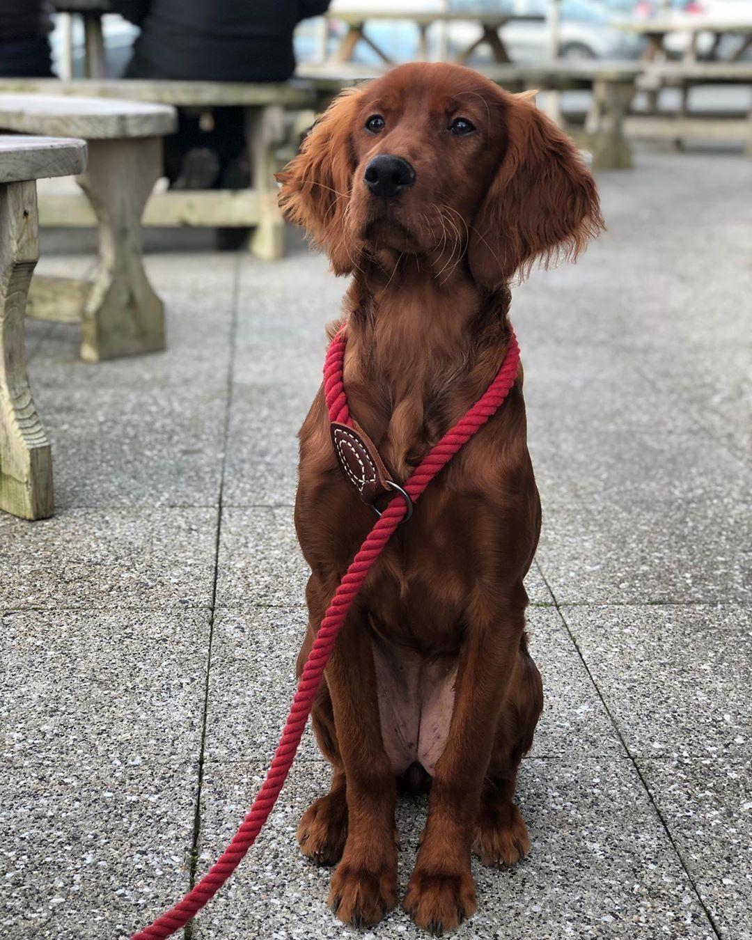 Red golden retriever puppies illinois