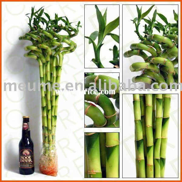 spiral dracaena lucky bamboo indoor house aquatic plants healty food lucky bamboo plants. Black Bedroom Furniture Sets. Home Design Ideas