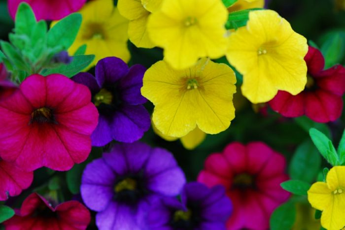 Balkonpflanzen Sonnig Blumen Millions Bells Calibrachoa