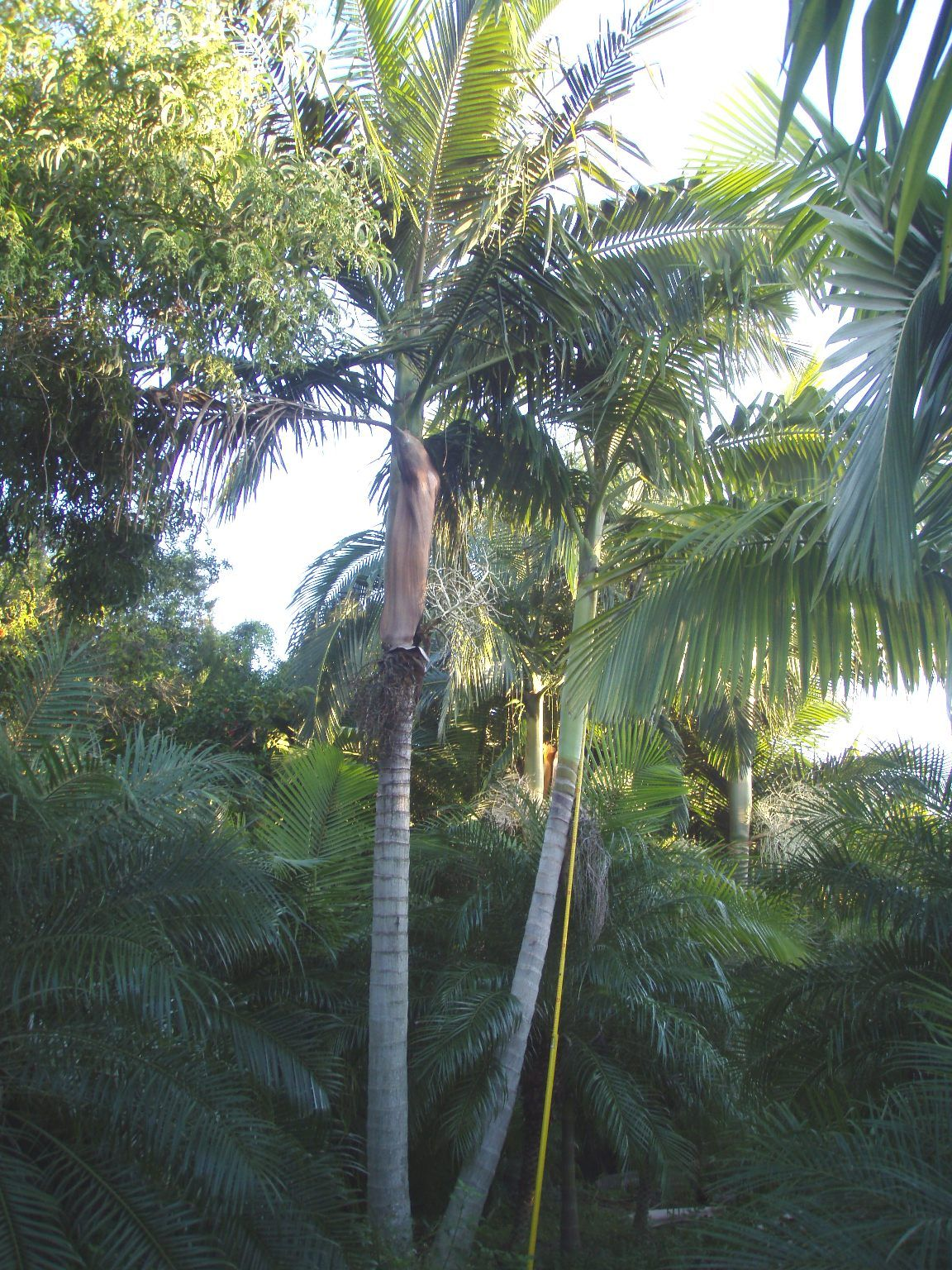 Buy Curved Coconut Palm Trees - Malayan and Maypan Coconut Palm Buy ...
