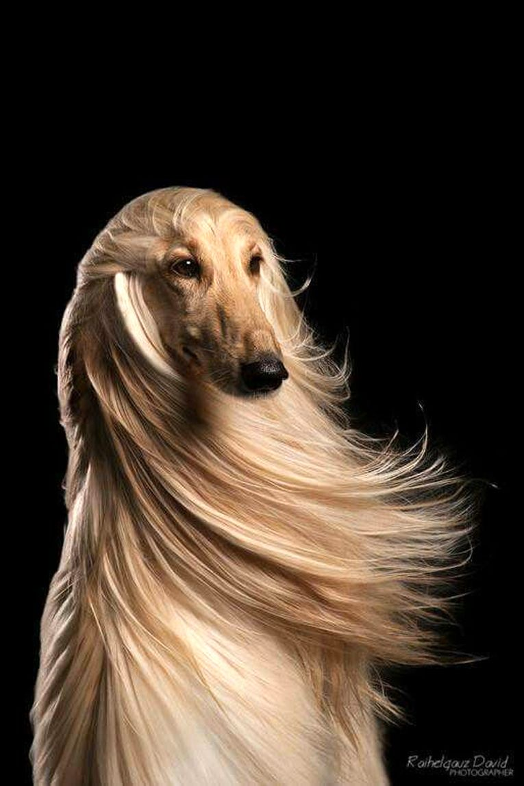 Afghan Hound Hair Blowing In The Wind Glamour Shot Hound Dog