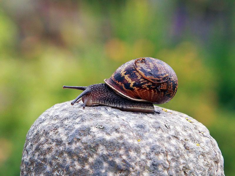Garden snail | Flickr - Photo Sharing!