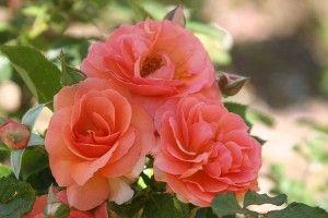JP: ENGLISH LEGEND ROSES: Midsummer Night's   Dream™- deep tangerine bronze bush roses