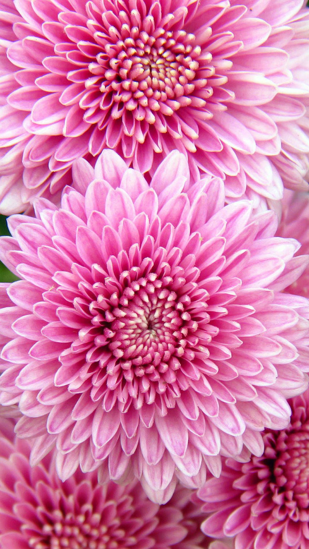 Bright Chrysanthemum Flowers 2913 Samsung Hd Wallpapers Flower Iphone Wallpaper Best Flower Wallpaper New Flower Wallpaper