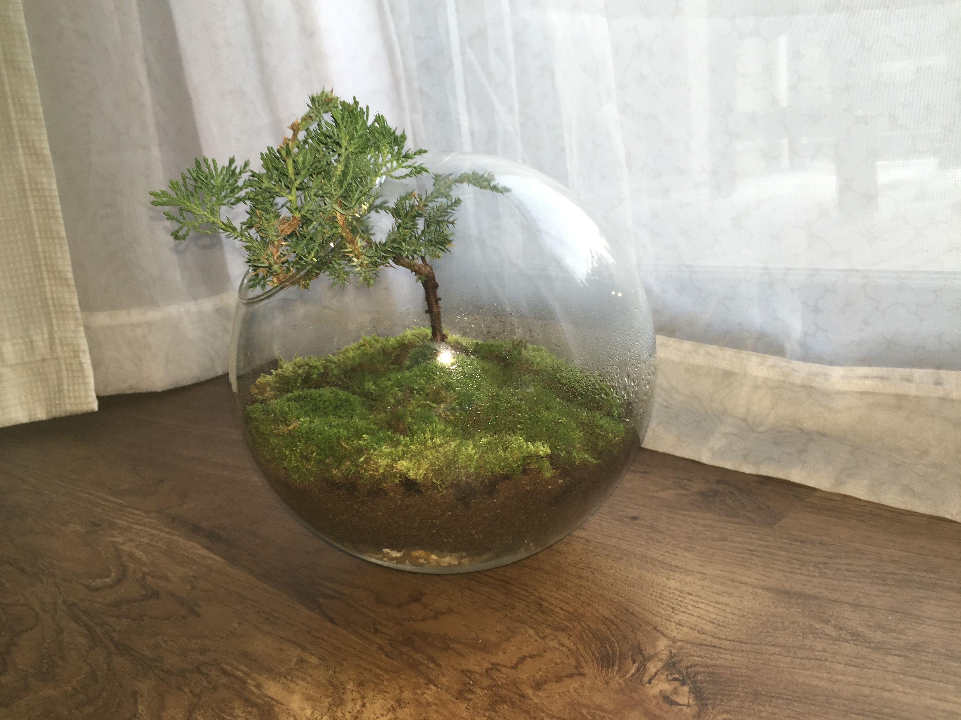 Bonsai Terrarium Glass Sphere Round Circle Bowl With Moss Dirt