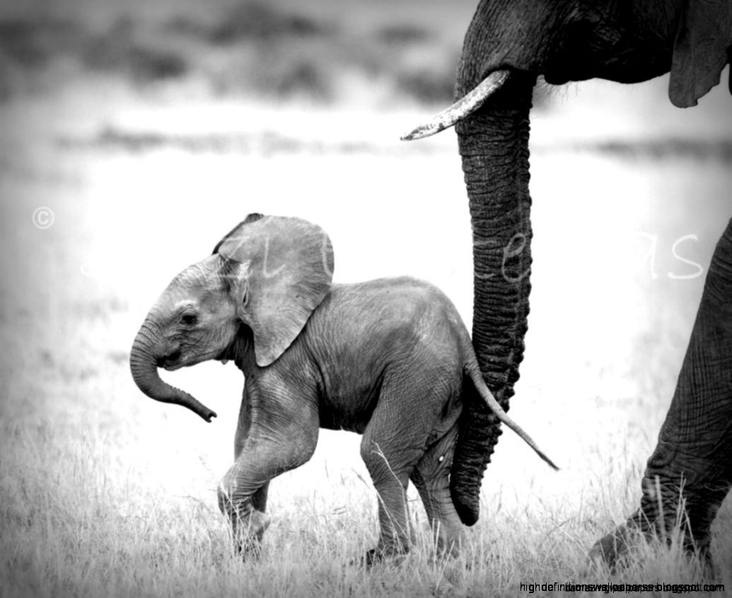 Black And White Photo Baby Elephant Wallpaper
