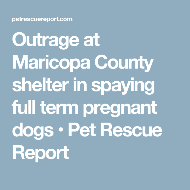 Outrage At Maricopa County Shelter In Spaying Full Term Pregnant