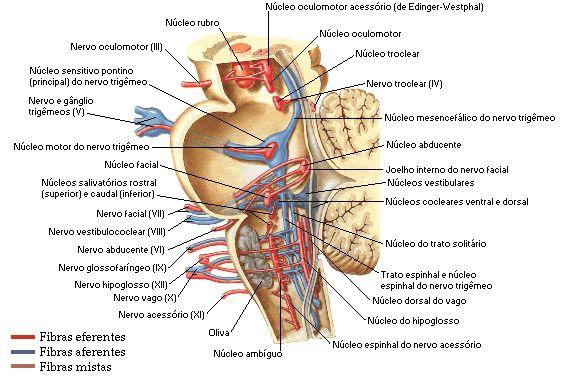 Resultado de imagen de anatomia tronco cerebral | Psychology & life ...