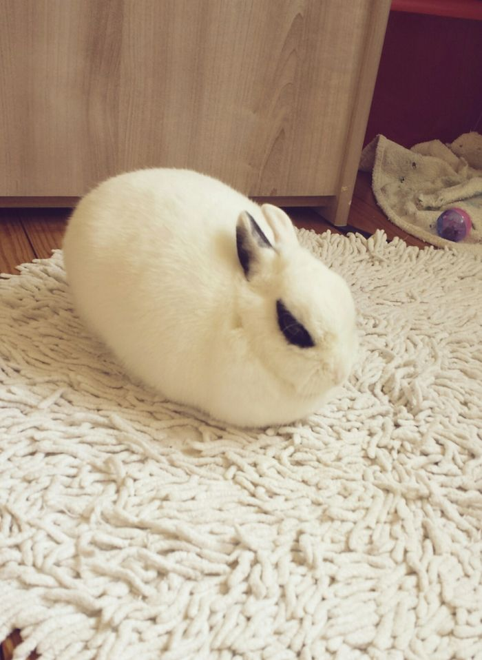 after a run, it's time to sleep !! #cute #rabbit #bunny #white #animal #pet Discover other photos HERE ==> http://www.yummypets.com/pic/2267747