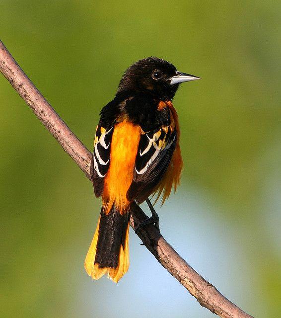 Baltimore Oriole Male Oriole Bird Baltimore Orioles Birds Pet Birds